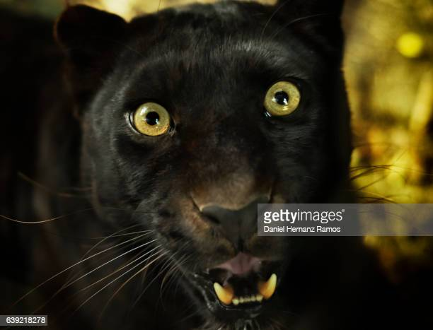detailed view of a black panther head. panthera pardus - black panther face stock photos and pictures