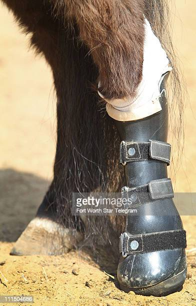 A detailed view of Midnite's right hind leg shorter than the rest that needs the prosthetic boot is seen March 28 in Argyle Texas Midnite was an...