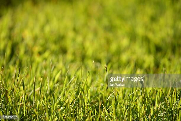 A detailed view of the grass during the Second Round of the BMW PGA Championship at Wentworth on May 22 2009 in Virginia Water England
