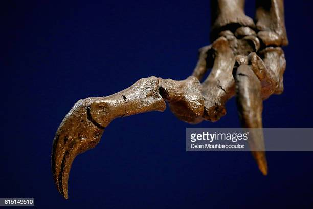 Detailed view of the hands or claws of Trix the female T-Rex exhibition at the Naturalis or Natural History Museum of Leiden on October 17, 2016 in...