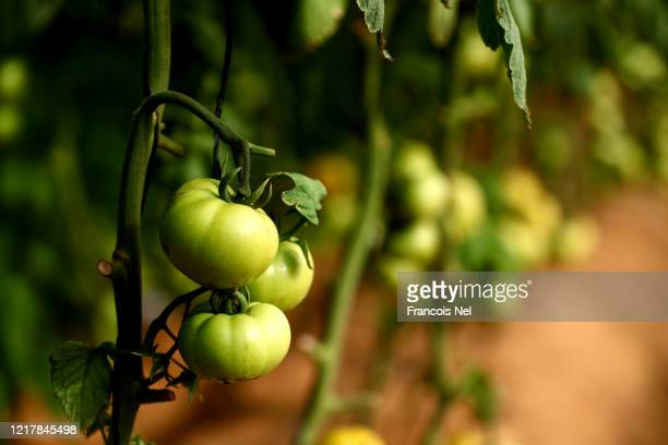 Detailed view of tomatoes at Emirates Bio Farm on April 09, 2020 in Al Ain, United Arab Emirates. Emirates Bio Farm is making sure people still have...