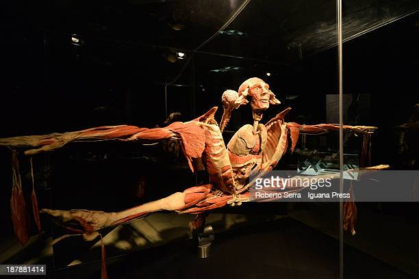 Details from Gunther Von Hagensìs Body Worlds exhbitions at GAM show room on November 6 2013 in Bologna Italy