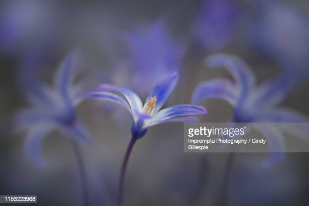 details of a siberian squill flower in the early spring - iris foto e immagini stock