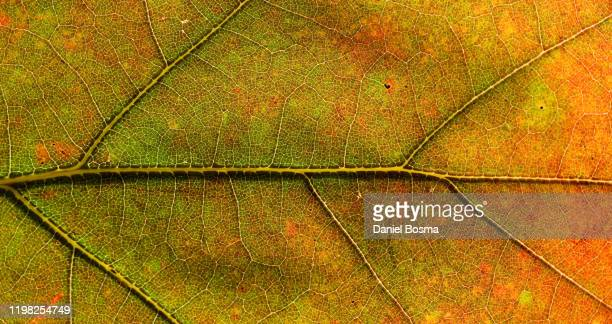 details of a tree leaf up close - chlorophyll stock pictures, royalty-free photos & images