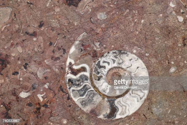 Details of ammonites, and other fossils exposed on cut slab of stone, Erfoud, Morocco