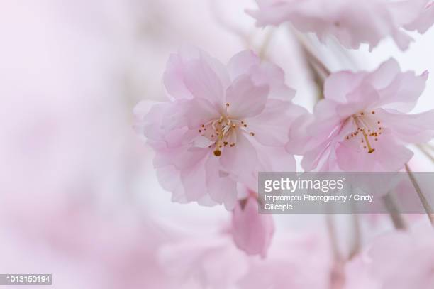 details of two blooms of a weeping cherry in the spring - cherry gillespie stock-fotos und bilder