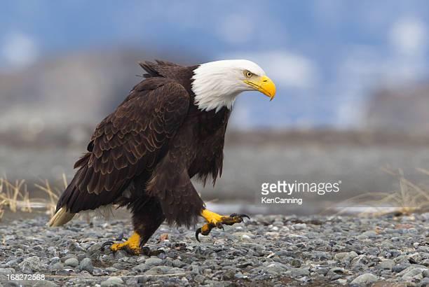 Determina águila de cabeza blanca