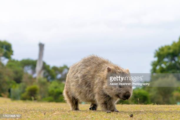 determined wombat | maria island - wombat stock pictures, royalty-free photos & images