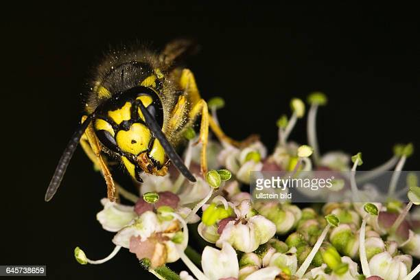 Deutsche Wespe German wasp