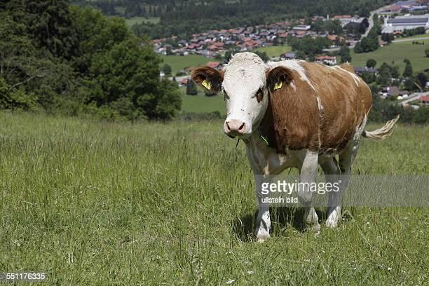 Deutschland Allgäu Kuh auf der Weide