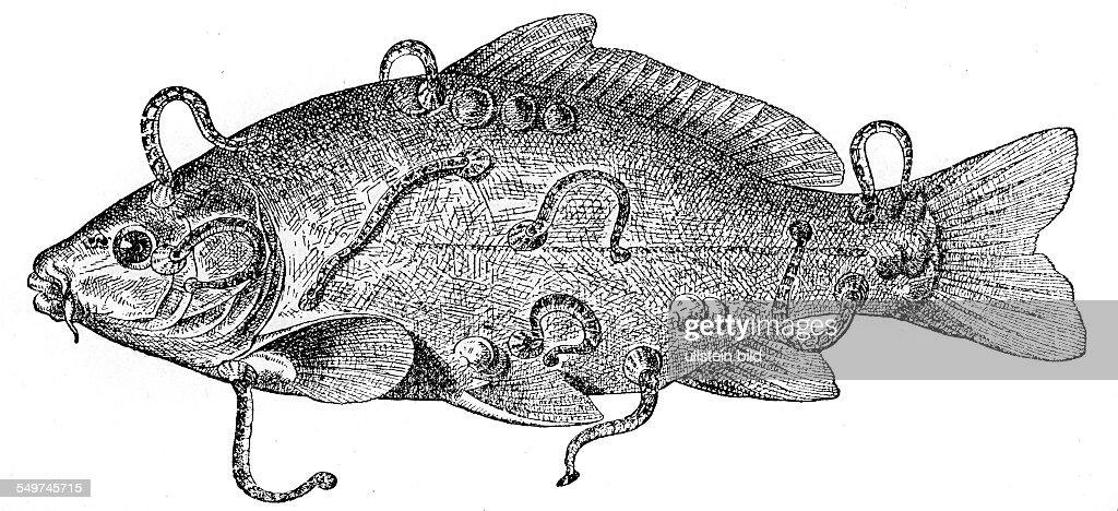 GER, Deutschland,  Alter Holzschnitt um 1880, Fischegel an einem Karpfen : News Photo