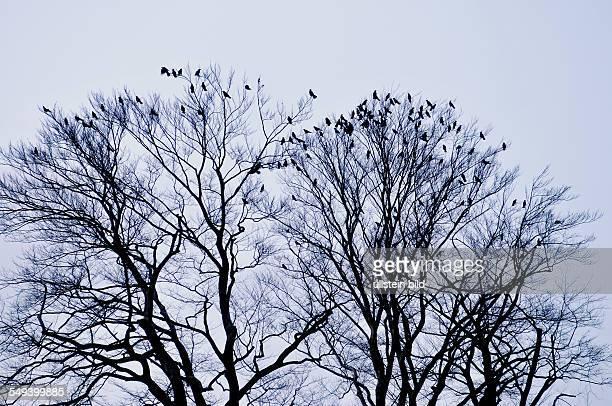 Deutschland Baum mit Krähen
