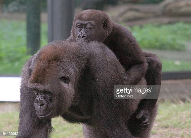 Deutschland / Berlin Gorilla Bokito traegt das am Auge operierte GorillaMädchen D j a m b a l a durch das Gorillagehege tragen
