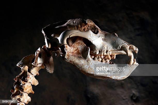 DEU Deutschland Bottrop Austellung der Ur und Ortsgeschichte im Museum Quadrat Hoehlenbaer hier ein weibliches Tier Skelett