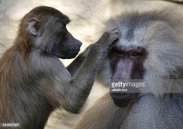 Deutschland Koeln Mantelpavian laust einen Artgenossen im Koelner Zoo / Paviane