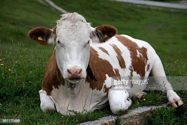 Deutschland Nationalpark Berchtesgaden Kuh auf der Weide