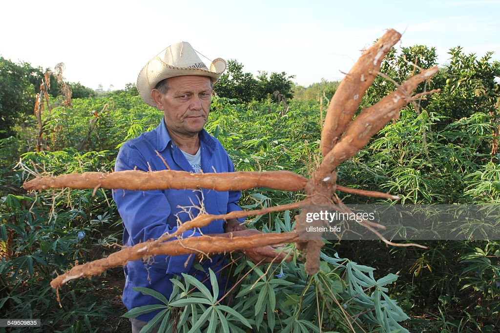 Paraguay: gardening of manioc : News Photo