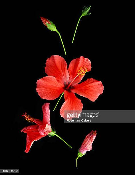 development and demise of a hibiscus flower. - hibiscus stock pictures, royalty-free photos & images