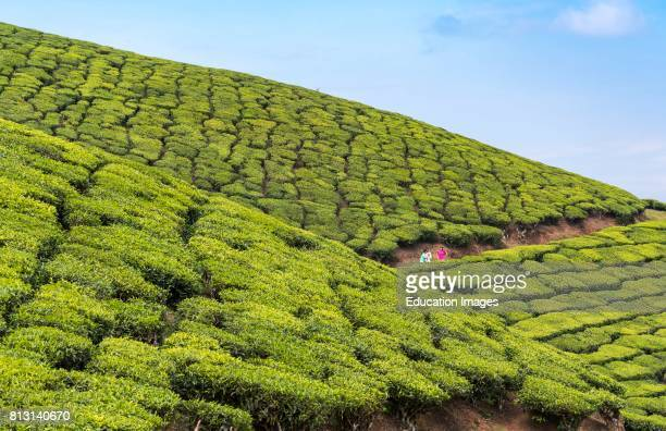 Devikulam Tea Plantation, Munnar, Kerala, India.