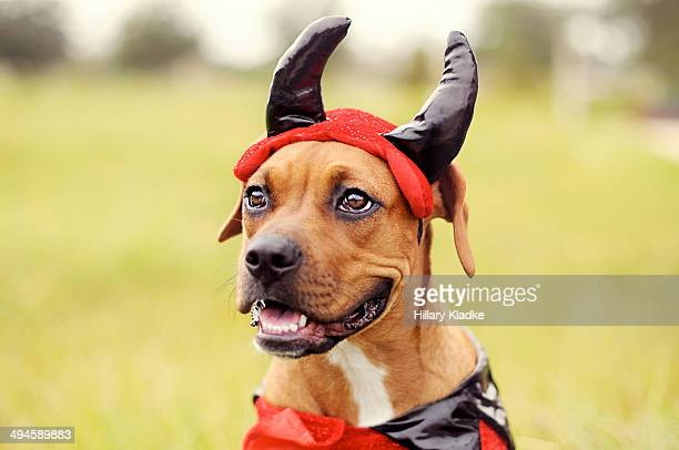 devil boxer dog - devil costume stockfoto's en -beelden