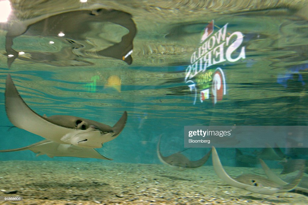 Devil rays swim in a tank before game two of the Major Leagu : News Photo