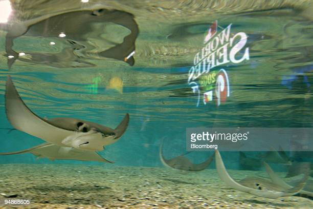 Devil rays swim in a tank before game two of the Major League Baseball World Series between the Philadelphia Phillies and Tampa Bay Rays at Tropicana...