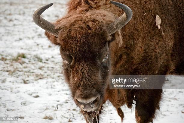 Devilish Glare of a Bison