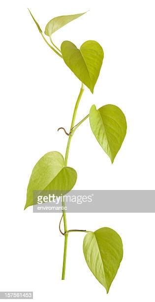 Devil's Ivy creeper plant isolated on white.