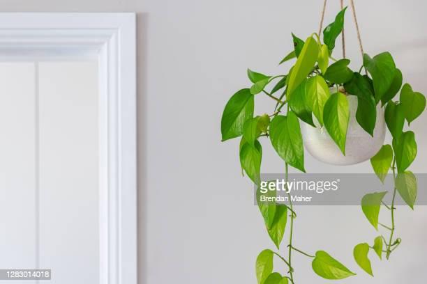 devils ivy golden pothos indoor plant vine in a hanging pot near doorway - hanging basket stock pictures, royalty-free photos & images