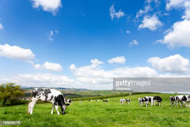 Devon field of cows