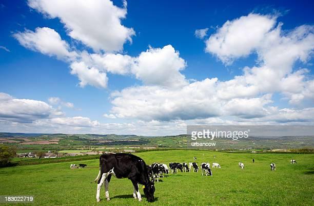 Devon hillside with cows
