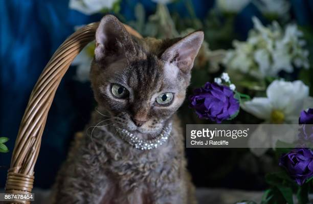 Devon Rex Daisey is pictured during the Supreme Cat Show on October 28 2017 in Birmingham England The oneday Supreme Cat Show is one of the largest...