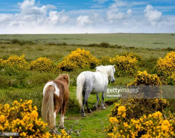 uk, devon, two dartmoor ponies at dartmoor national park - デヴォン州 ストックフォトと画像