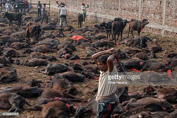 A devotee slaughters a water buffalo during the celebration of the Gadhimai festival on November 28 2014 in Bariyarpur Nepal Over two million people...