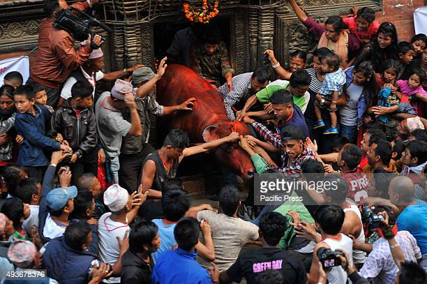 Devotees holding the rope of the sacrificial buffalo to take out from Nava Durga Temple for the sacrificial procession on the occasion of Biggest...