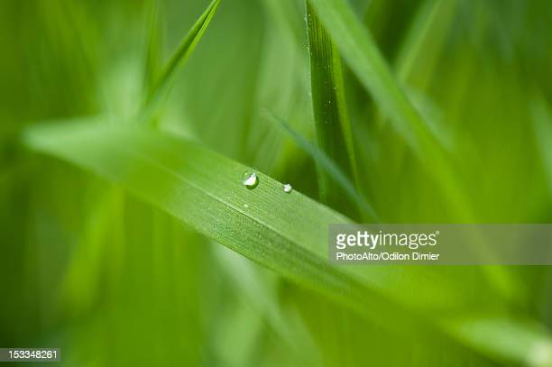 Dew drops on blade of grass