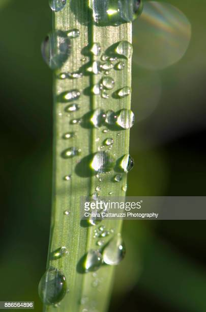 Dew drops on blades of grass