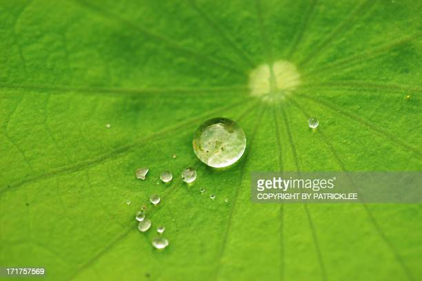 Dew drops on lotus leaf
