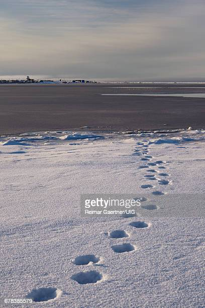 dew line - bear tracks stock photos and pictures