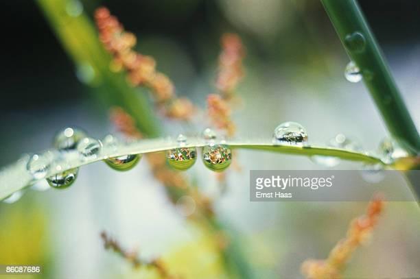 Dew on a leaf June 1968