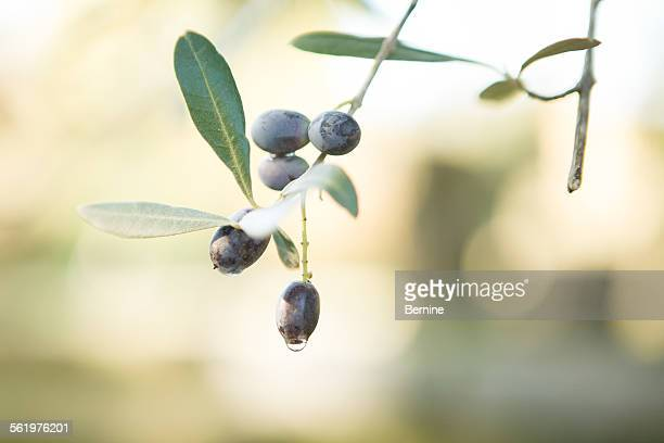 Dew on an Olive