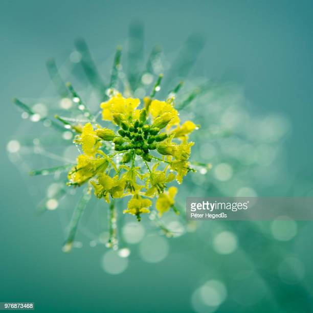 dew on rapeseed flower (brassica napus) in bloom, gyor, gyor-moson-sopron, hungary - oilseed rape stock pictures, royalty-free photos & images