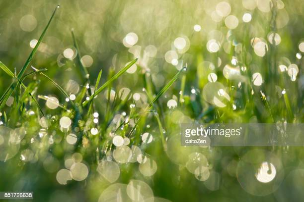 dew water drops on grass back lit by morning sun, upper bavaria, germany - dew stock photos and pictures