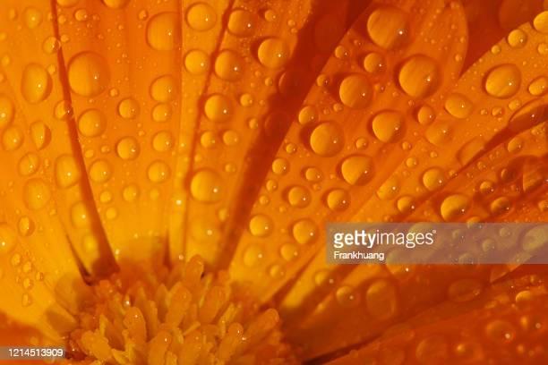 dewdrop marigold