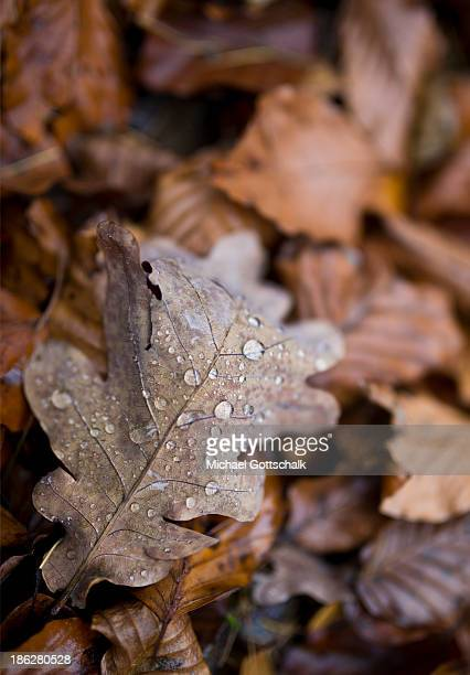 Dewdrops on a leaf of a Beech tree on October 29 2013 in Markt Beratzhausen Germany