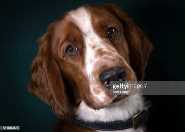 Dewi, a 8-month-old Welsh Springer bitch, poses for a photograph on the second day of Crufts Dog Show at the NEC Arena on March 10, 2017 in...