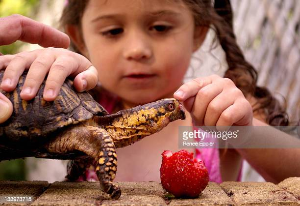 dexter turtle - box turtle stock photos and pictures