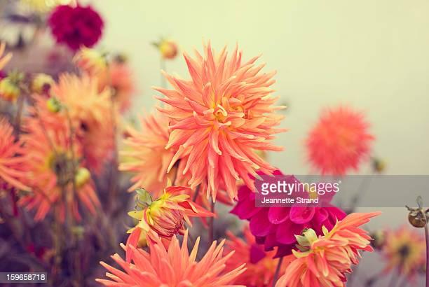 Dhalia Flowers
