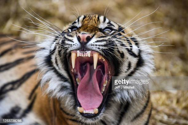 Dharma the Sumatran tiger yawns as members of the public return to Edinburgh Zoo as it opens for the first time following the easing of Scottish...