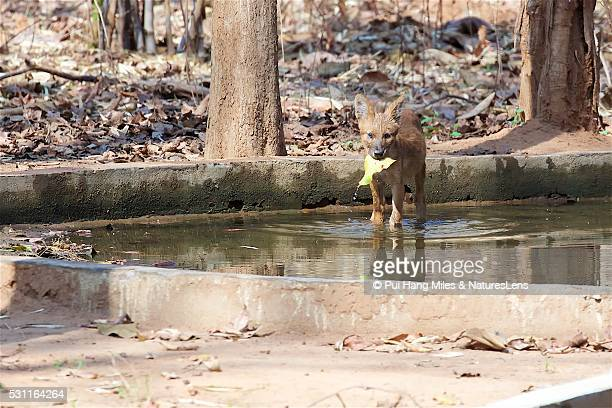 dhole puppy with wet leaf in his mouth - red wolf stock photos and pictures